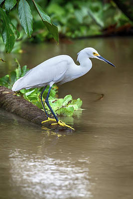 Poster featuring the photograph Snowy Egret by John Haldane
