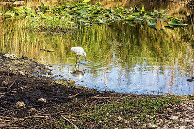 Snowy Egret Reflections Poster