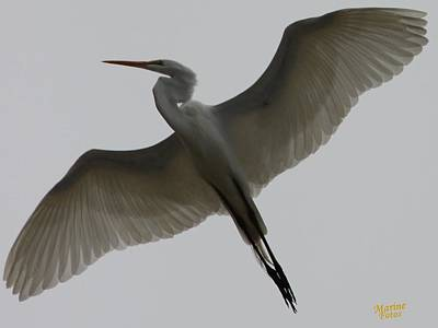 Snowy Egret Wings Of An Angel Poster