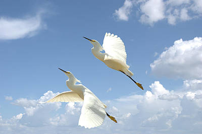 Snowy Egrets In Flight Poster