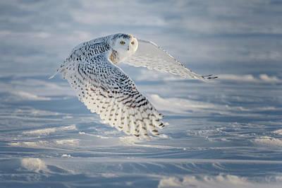 Snowy In Flight Poster by Cheryl Schneider
