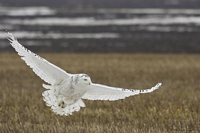 Snowy Owl In Flight Poster by Michaela Sagatova