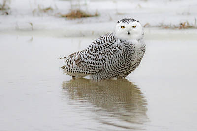 Snowy Owl Poster by Jim Nelson