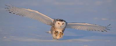 Snowy Owl Last Light Poster by Scott  Linstead