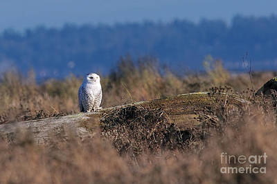 Poster featuring the photograph Snowy Owl On Log by Sharon Talson