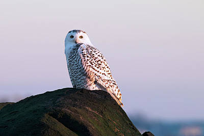 Snowy Owl On The Seacoast Poster by Eric Gendron