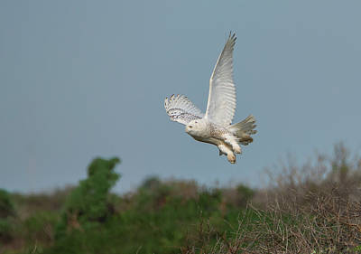 Snowy Owl Over The Dunes Poster by Loree Johnson