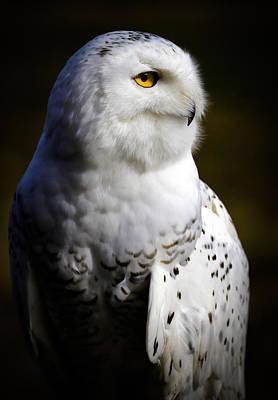 Snowy Owl Portrait Poster by Athena Mckinzie