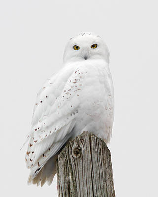 Snowy Owl Portrait Poster by Timothy McIntyre