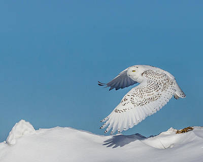 Snowy Owl - Taking Flighty Poster by Dan Traun