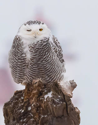 Snowy Owl Winking Poster