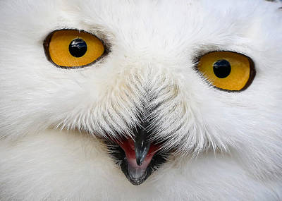 Snowy White Owl Close Up Poster by Athena Mckinzie