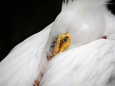 Snuggled White Pelican Poster by Penny Lisowski