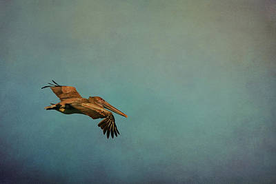 Soaring Pelican In Late Afternoon Light Poster by Carla Parris