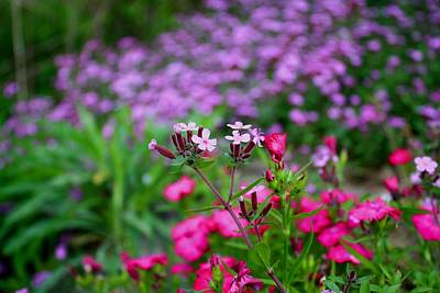 Poster featuring the photograph Soapwort And Pinks by Kathryn Meyer