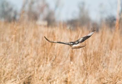Soaring Hawk Over Field Poster by Douglas Barnett