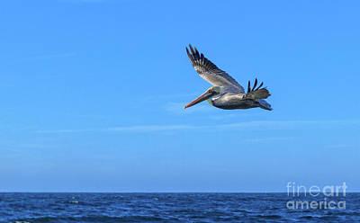 Soaring Pelican Poster