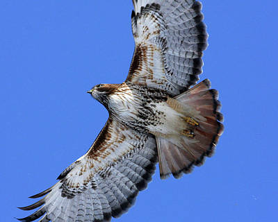 Soaring Red-tail Poster