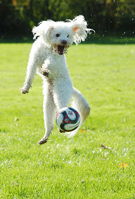 Soccer Dog-5 Poster by Steve Somerville