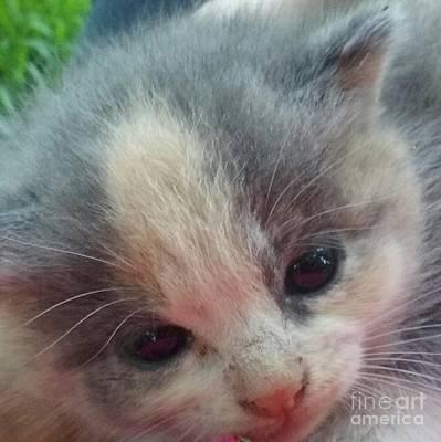 Soft Calico Kitten Poster