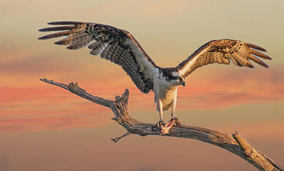 Soft Landing Osprey Poster by Ed Roth