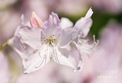 Soft Pink Rhododendron Or Azalea Poster by Arletta Cwalina