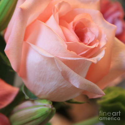Soft Pink Rose Poster by Carol Groenen