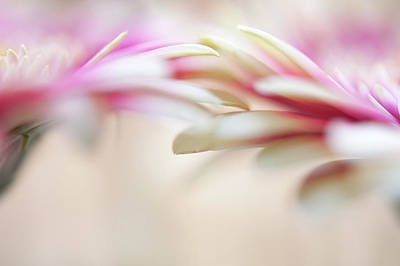 Poster featuring the photograph Soft Touch. Macro Gerbera by Jenny Rainbow