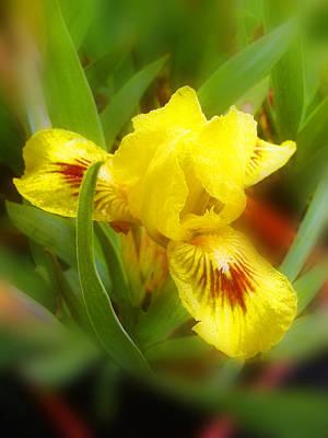 Soft Yellow Iris Poster
