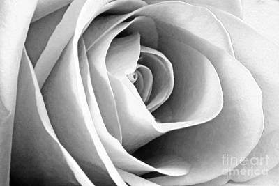 Softened Rose Poster
