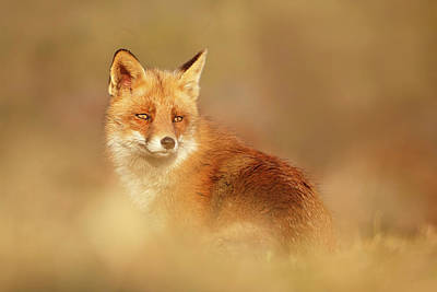 Softfox Series - Red Fox Blending In Poster by Roeselien Raimond