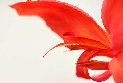 Softly Red Canna Lily Poster by Debbie Oppermann