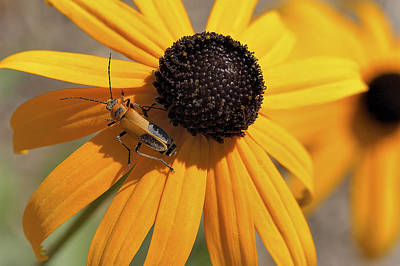 Soldier Beetle On His Flower Poster