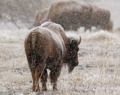 American Bison In Snow Poster