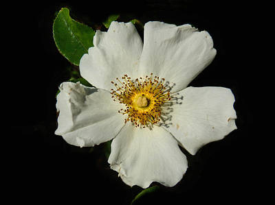 Legendary Rose Poster by Laura Ragland