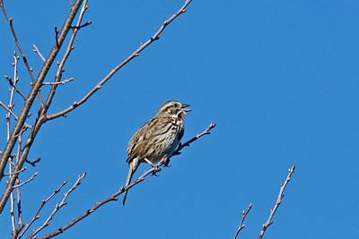 Song Sparrow Poster by Michael Peychich