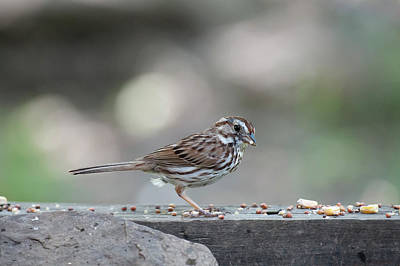 Song Sparrow With Seed In Beak Poster by Dan Friend