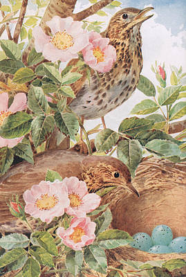 Song Thrushes With Nest Poster by Louis Fairfax Muckley