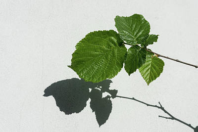 Sophisticated Shadows - Glossy Hazelnut Leaves On White Stucco - Horizontal View Left Upwards Poster