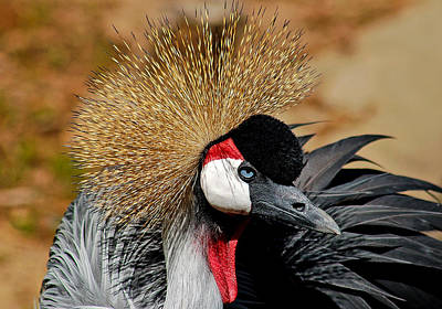 South African Crowned Crane Poster