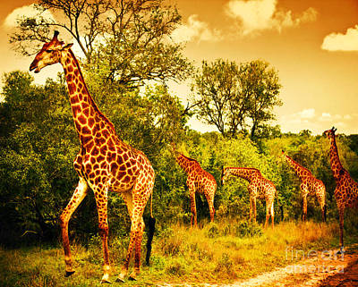 South African Giraffes Poster
