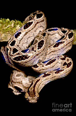Southern Bromeliad Boa Poster
