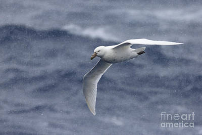 Southern Giant-petrel Poster by Martin Hale/FLPA