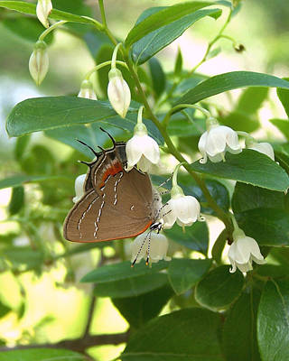 Poster featuring the photograph Southern Hairstreak On Sparkleberry by Peg Urban