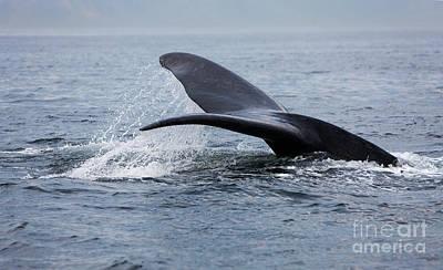 Southern Right Whale Eubalaena Australis Poster