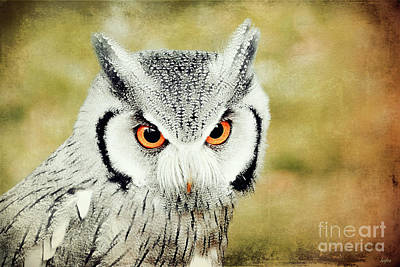 Southern White Faced Owl Poster