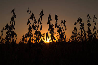 Soybean Sunset Poster by Andrea Kappler