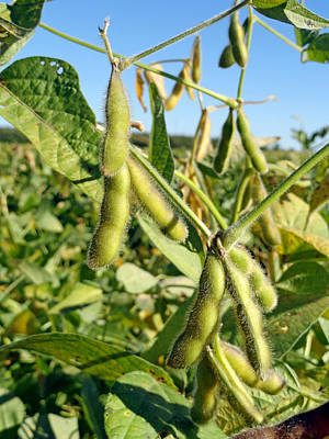 Soybeans In Autumn Poster