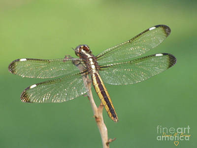 Poster featuring the photograph Spangled Skimmer Dragonfly Female by Donna Brown