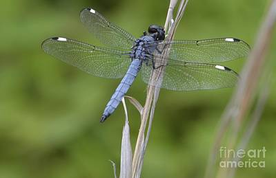 Poster featuring the photograph Spangled Skimmer by Randy Bodkins